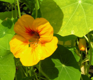 Grosse Kapuzinerkresse Bluete orange rot Tropaeolum majus 11