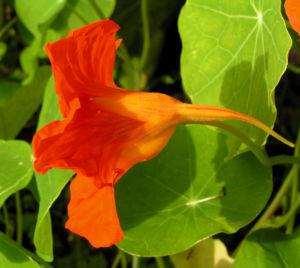 Grosse Kapuzinerkresse Bluete orange rot Tropaeolum majus 13