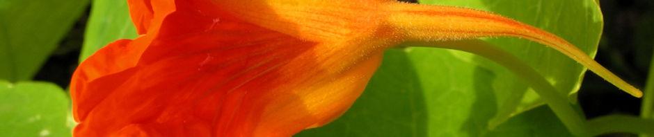 grosse-kapuzinerkresse-bluete-orange-rot-tropaeolum-majus