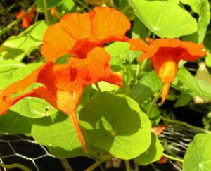 Grosse Kapuzinerkresse Bluete orange rot Tropaeolum majus 15