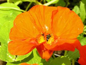 Grosse Kapuzinerkresse Bluete orange rot Tropaeolum majus 16