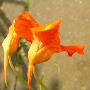 Grosse Kapuzinerkresse Bluete orange rot Tropaeolum majus 17