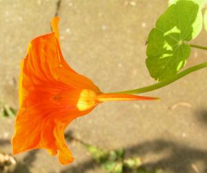 Grosse Kapuzinerkresse Bluete orange rot Tropaeolum majus 18