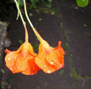 Grosse Kapuzinerkresse Bluete orange rot Tropaeolum majus 19