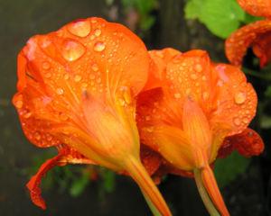 Grosse Kapuzinerkresse Bluete orange rot Tropaeolum majus 20