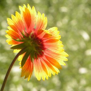 Bild: Grosse Kardenblume Bluete rot gelb Gaillardia aristata