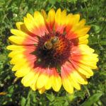 Grosse Kardenblume Bluete rot gelb Gaillardia aristata 05