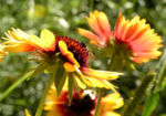 Grosse Kardenblume Bluete rot gelb Gaillardia aristata 07
