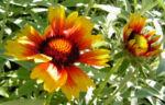 Grosse Kardenblume Bluete rot gelb Gaillardia aristata 10
