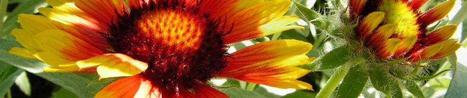 grosse-kokardenblume-bluete-rot-gelb-gaillardia-aristata