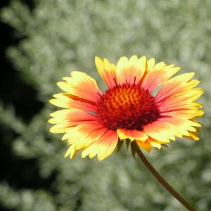 Grosse Kardenblume Bluete rot gelb Gaillardia aristata 11