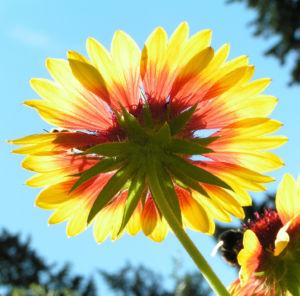 Grosse Kardenblume Bluete rot gelb Gaillardia aristata 13
