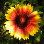 Grosse Kardenblume Bluete rot gelb Gaillardia aristata 14