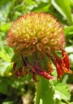 Grosse Kardenblume Bluete rot gelb Gaillardia aristata 20