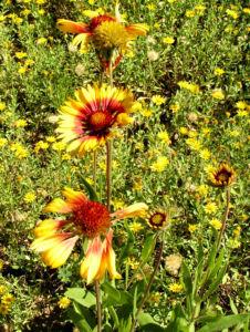 Grosse Kardenblume Bluete rot gelb Gaillardia aristata 21