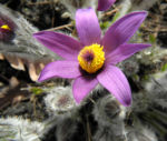 Grosse Kuhschelle Bluete lila gelb Pulsatilla vulgaris 02