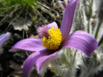 Grosse Kuhschelle Bluete lila gelb Pulsatilla vulgaris 03