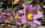 Grosse Kuhschelle Bluete lila gelb Pulsatilla vulgaris 04