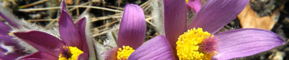 Anklicken um das ganze Bild zu sehen Große Kuhschelle Blüte lila gelb Pulsatilla vulgaris