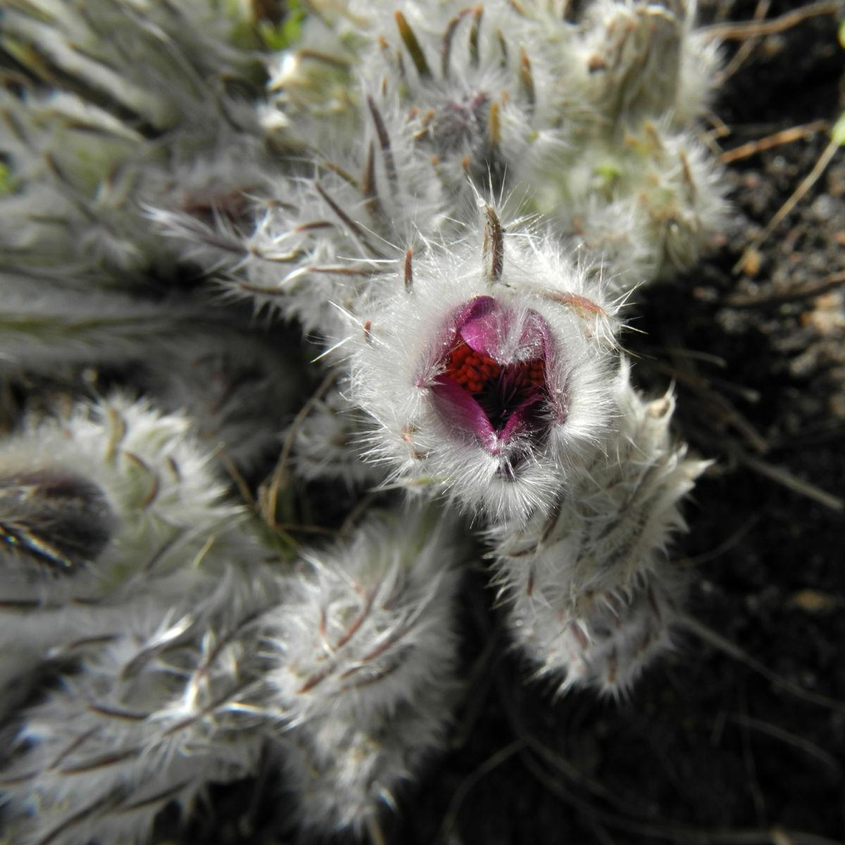 Grosse Kuhschelle Bluete lila gelb Pulsatilla vulgaris