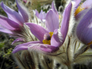Grosse Kuhschelle Bluete lila gelb Pulsatilla vulgaris 11