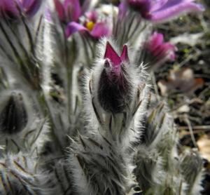Grosse Kuhschelle Bluete lila gelb Pulsatilla vulgaris 14