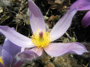 Grosse Kuhschelle Bluete lila gelb Pulsatilla vulgaris 16