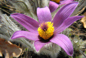 Grosse Kuhschelle Bluete lila gelb Pulsatilla vulgaris 18