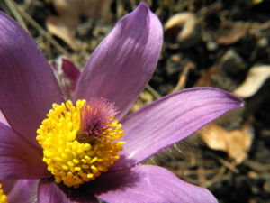 Grosse Kuhschelle Bluete lila gelb Pulsatilla vulgaris 20