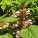 Zurück zum kompletten Bilderset Grosse Taubnessel Blüte weiß pink Lamium orvala