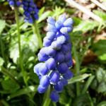 Grosse Traubenhyazinthe Muscari racemosum 02