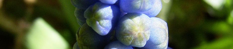grosse-traubenhyazinthe-bluete-blau-muscari-racemosum