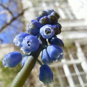 Grosse Traubenhyazinthe Muscari racemosum 07