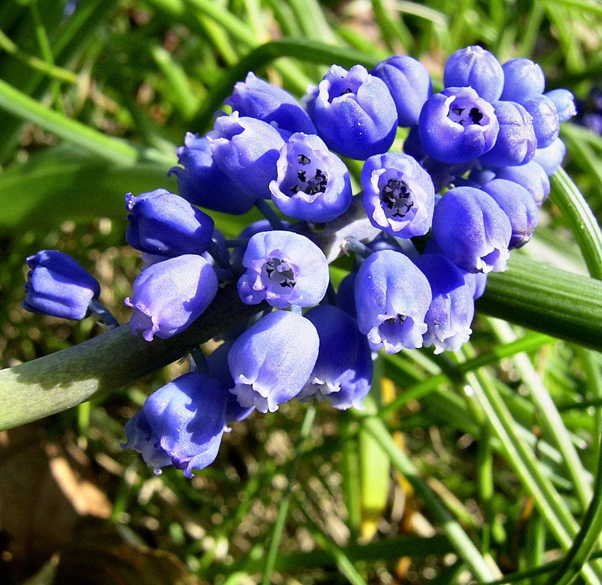 Grosse Traubenhyazinthe Muscari racemosum