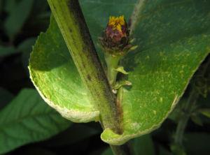 Grosser Alant Blatt gruen Inula magnifica 01