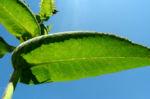 Grosser Alant Blatt gruen Inula magnifica 02