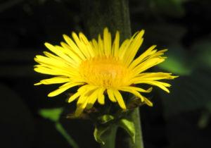 Grosser Alant Bluete gelb Inula magnifica 06