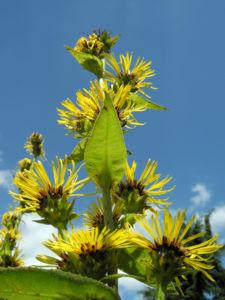 Grosser Alant Bluete gelb Inula magnifica 10