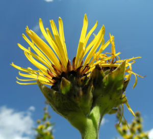 Grosser Alant Bluete gelb Inula magnifica 15