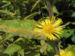 Zurück zum kompletten Bilderset Großer Alant Inula magnifica