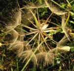 Grosser Bocksbart Samen braun grau Tragopogon dubius 01