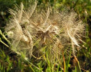 Grosser Bocksbart Samen braun grau Tragopogon dubius 02