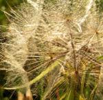 Grosser Bocksbart Samen braun grau Tragopogon dubius 03