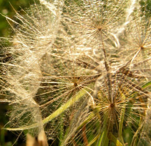 Bild: Grosser Bocksbart Samen braun grau Tragopogon dubius