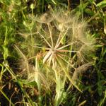 Grosser Bocksbart Samen braun grau Tragopogon dubius 04