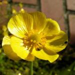 Grosser Hahnenfuss Bluete gelb Ranunculus lingua 03