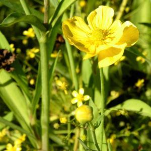 Grosser Hahnenfuss Bluete gelb Ranunculus lingua 05