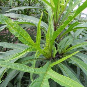 Grosser Kaenguruapfel Kangaroo Apple Frucht orange blatt gruen Solanum laciniatum 02