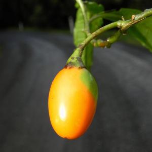 Grosser Kaenguruapfel Kangaroo Apple Frucht orange blatt gruen Solanum laciniatum 11