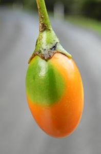 Grosser Kaenguruapfel Kangaroo Apple Frucht orange blatt gruen Solanum laciniatum 12